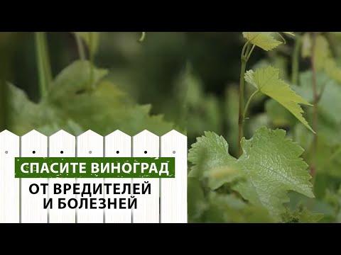 Болезни и вредители винограда.