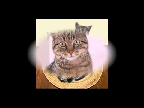 Европейская короткошерстная кошка.