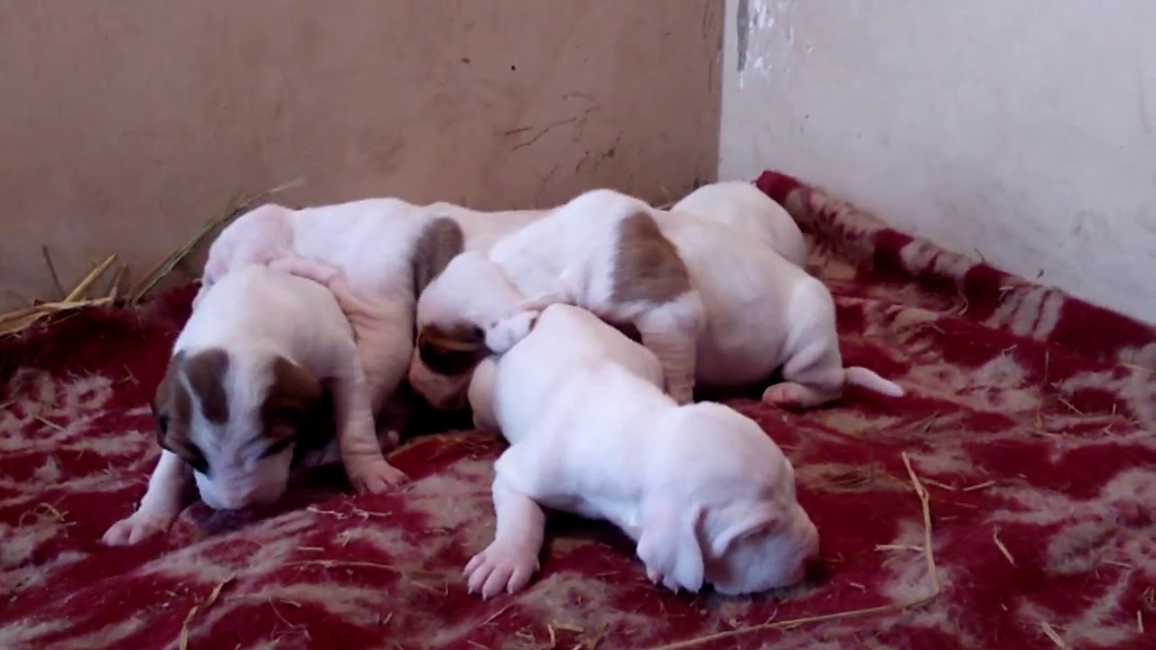 Pakistani bully puppies for sale ludihana Punjab india phone  9463913749/8054122411(6)