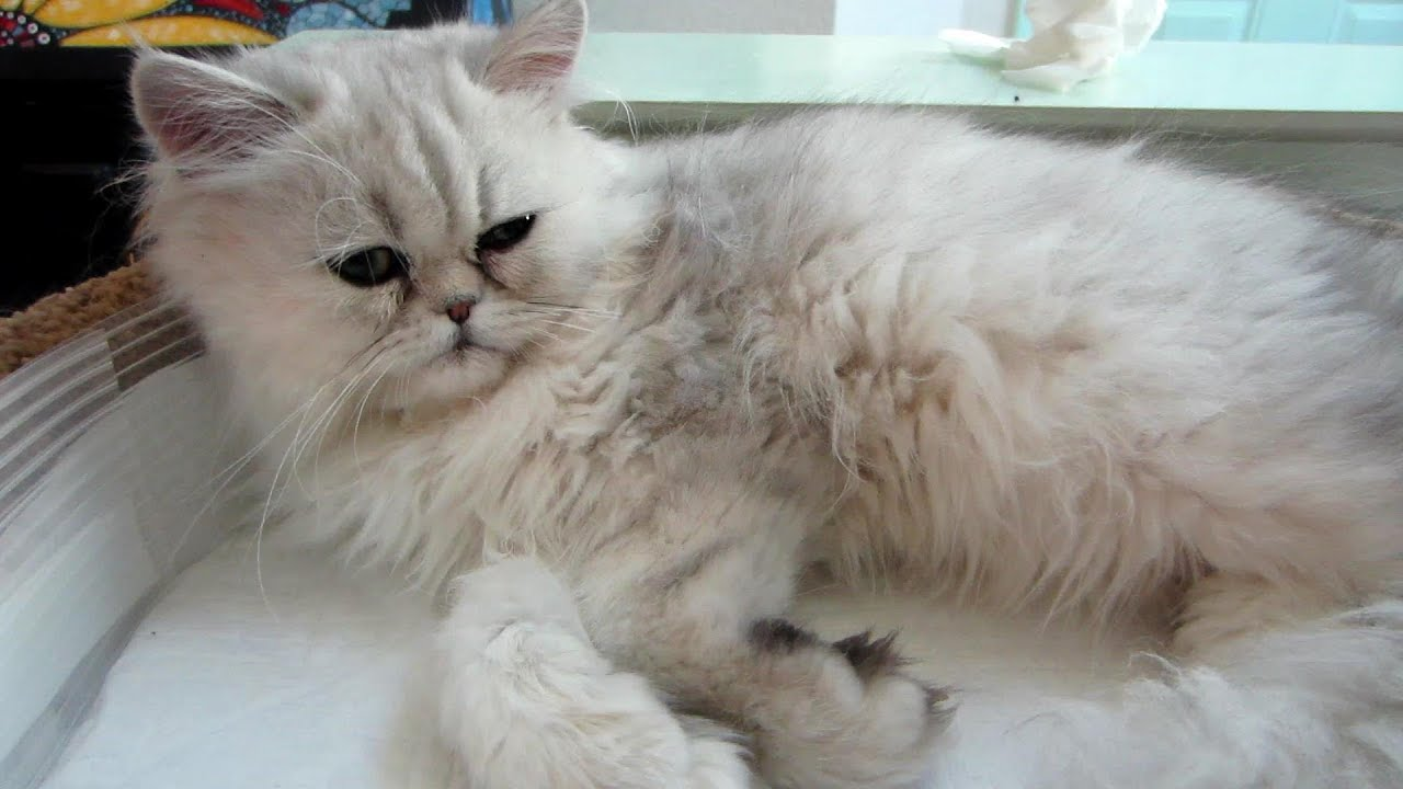Cleaning a persian cat's eyes