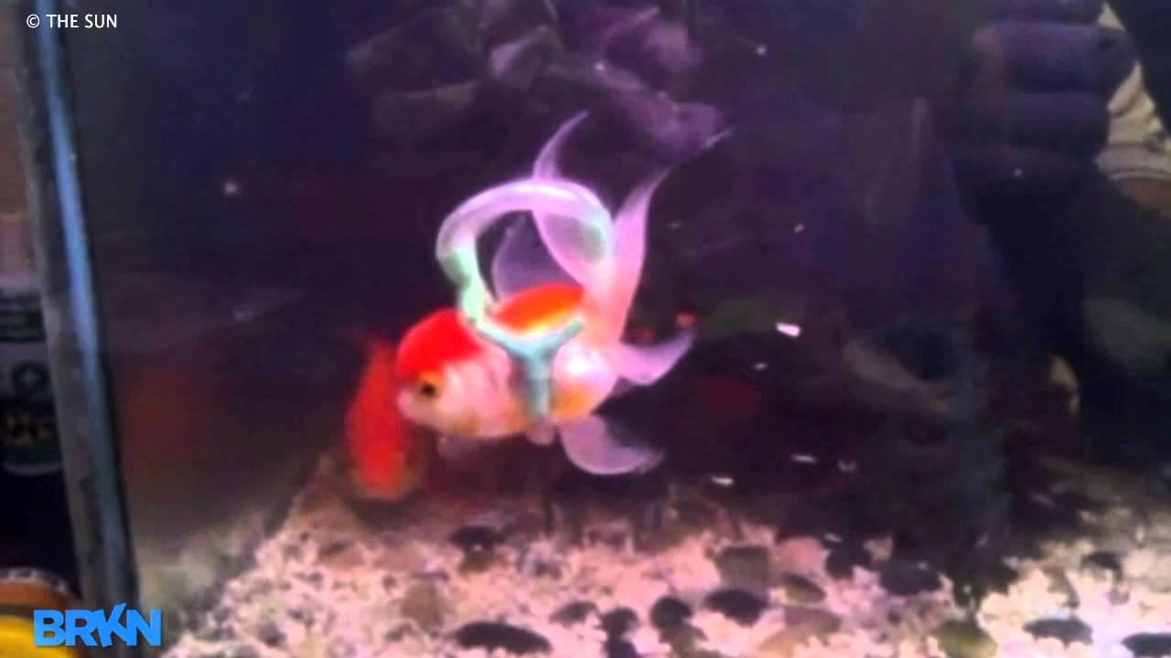4k hd amazing goldfish - photo #6