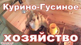 Курино-Гусиное хозяйство//Пополнение в курятнике
