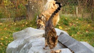 Бенгальская кошка и собака прикалываются!