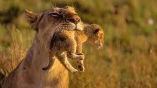 Животные мира Пустыни и саванны Кения Львы людоеды Призрак и Тьма + 40 в тени Клыки кошек Африка