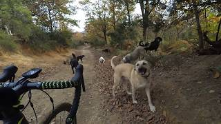 Belgrat ormanında köpek sürüsü içinde kalan bisikletli.