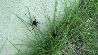 クロガケジグモがコガネムシの捕食を諦める Black house spider thumbnail