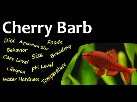 Aquarium Fish All About Cherry Barb Youtube