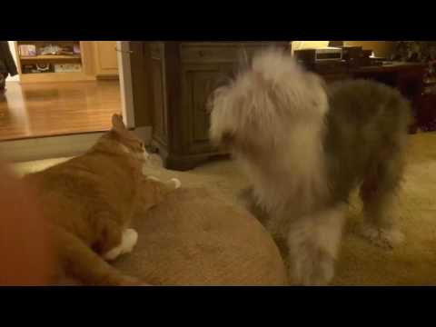 Hilarious Funny  Tabby Cat and Old English Sheepdog Dog Fight.