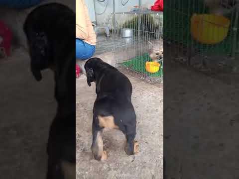 Trại chó cảnh thanh Dũng chuyen sĩ lẻ các dòng chó cảnh thuần chủng nghiệp vụ 0797661856