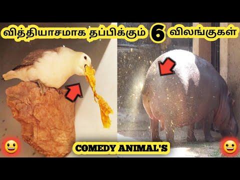 Download வித்தியாசமான விலங்குகள் || Six Crazy Animals || Tamil Galatta News