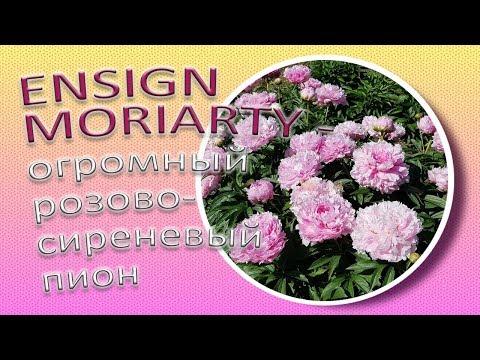 ENSIGN MORIARTY - огромный розово-сиреневый пион / Сад Ворошиловой