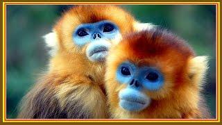 12 любопытных фактов про обезьян. Человек обезьяна? Pilot Video