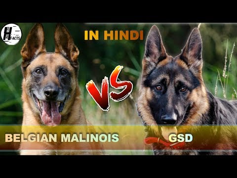German Shepherd VS Belgian Malinois | Hindi | COMPARISON | DOG VS DOG | HINGLISH FACTS