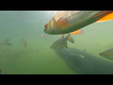 Fish In Chernobyl Plant's  Water Channel