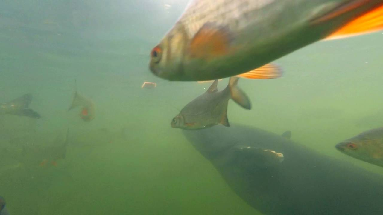 Yes, there are giant catfish in Chernobyl's cooling pond – but they
