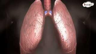 La ciencia Humana de la Respiración, el Sistema Respiratorio - animación 3D - inglés