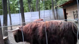 Шотландская горная корова в Харькове