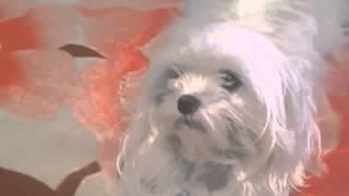 Maltés Mini Toy ! Adopciones (raza Pequeña) - 1530255152