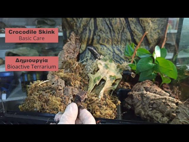 Red Eye Crocodile Skink κ Bioactive Set up| Feeders Strs 67