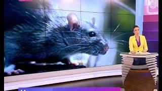 Фото Крыса в палатке с шаурмой. Шаверма патруль