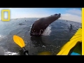 watch cape seal collides with kayaker national geographic