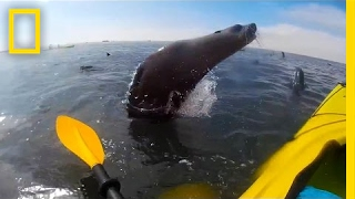 Watch  Cape Seal Collides With Kayaker | National Geographic