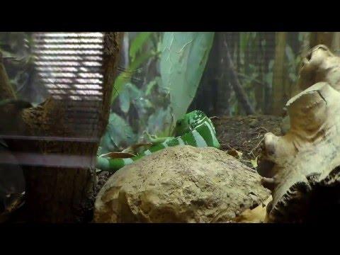Most Amazing GUI Island Banded Iguana