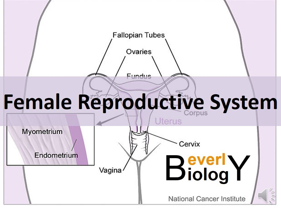 Female Reproductive System Youtube