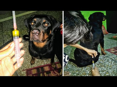 Most Fearless Dog Vaccination💉 Reaction || Funny compilation Rottweiler