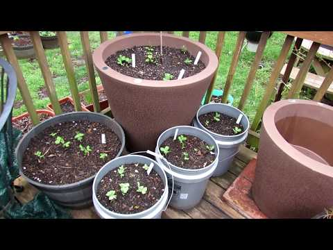 Vegetable Garden Tour & Tips 4/16/18: Hot-House Tomato Cage,  Peas, Bean & Cucumber Trellising