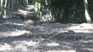 Belgium bush pigs