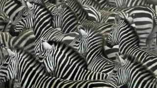 Зебра - Zebra (Энциклопедия животных)