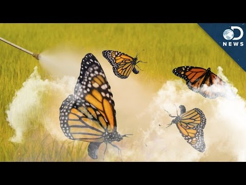 Why 90% Of Monarch Butterflies Disappeared