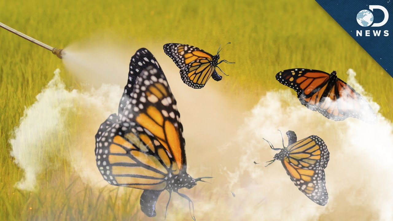 Where Have All Monarchs Gone >> Why 90 Of Monarch Butterflies Disappeared Youtube