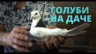 Как выращивать голубей на даче