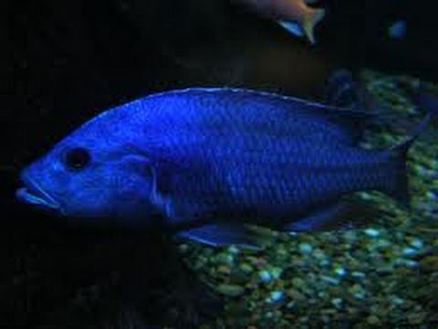 Electric blue cichlid Fish - YouTube Electric Blue Peacock Cichlid