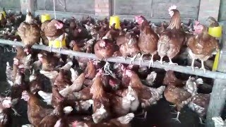 New Poultry Farming in Uganda Enkoko KUKU