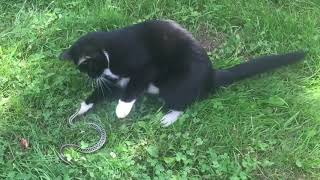 Snake ATTACKS Cat