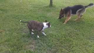 mini bullterrier vs german shepherd