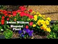 SWEET WILLIAMS (biennial) l QUOTES on Growth