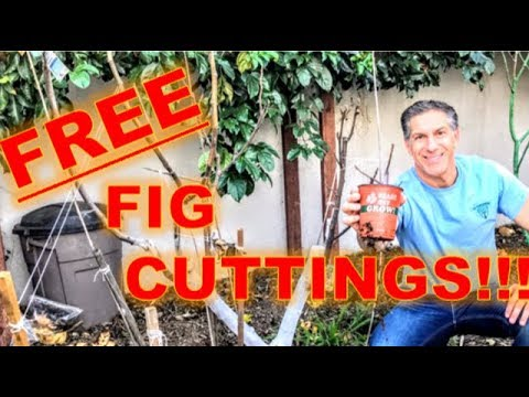 1st Annual FREE FIG CUTTINGS  |  1st & 2nd Days Of February 2018  |  While Supplies Last....