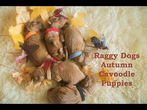Our first generation toy cavoodle puppies | Raggy Dogs