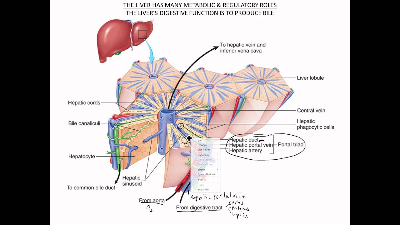 Liver & Gall Bladder Functional Anatomy - YouTube