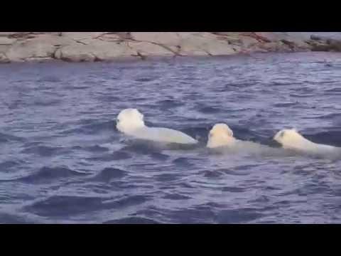 Repulse Bay, Nunavut:Watching Polar Bears