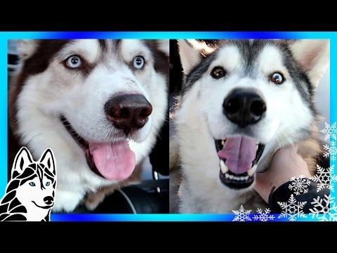 MEET HUSKY JEGS and SUMMIT   HELP US HELP HUSKIES   Dog Rescue