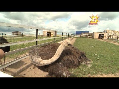 Как доехать до страусиной фермы