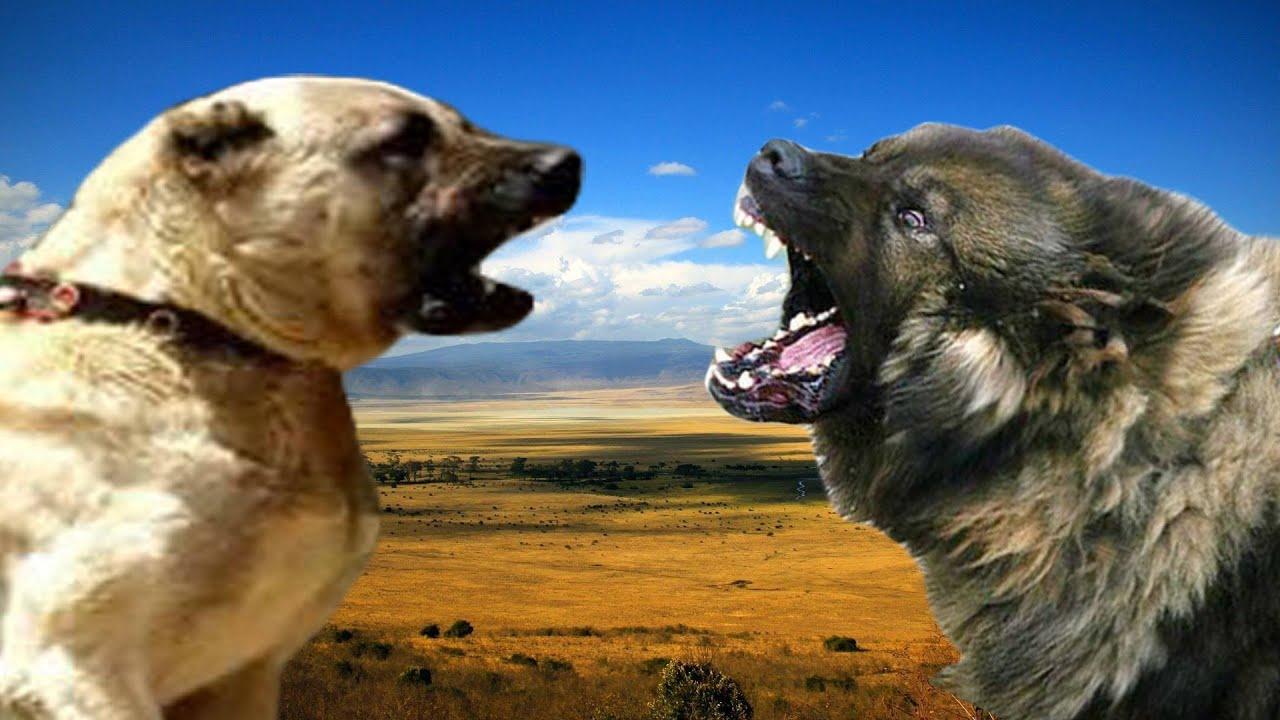 Kangal vs Sarplaninac ...