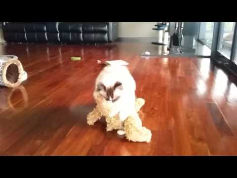 Valentino still loves his big fuzzy bear - PoathCats / PoathTV / Floppy Ragdoll Cats
