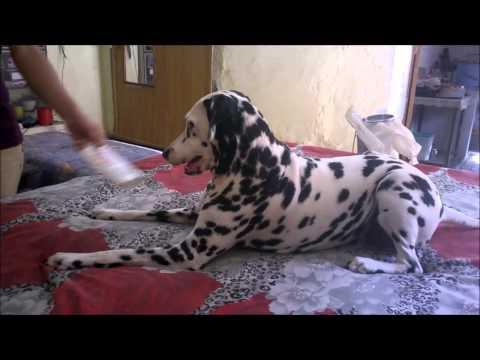 101 Dalmatian are very naughty - You Love Dalmatian