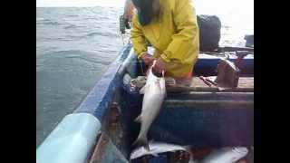 region del maule-pesca de la corvina